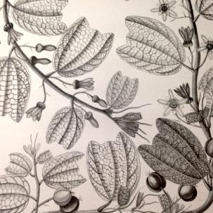 Passiflora Bogotensis Bensh. Tamaño natural. Fotografía tomada por Diana M. Salinas